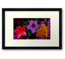 Azalea Colour Framed Print