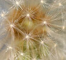 Dandelion - Stage I by vbk70