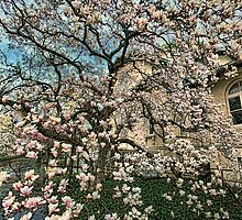 THE MAGNOLIA TREE by Chris Lord
