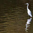 Snowy Egret - Egretta thula by Barb Miller