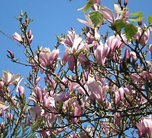 Magnolia Tree by AuntieBarbie
