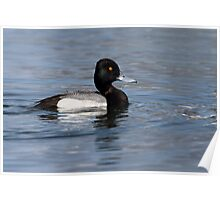 Drip / Lesser Scaup Male Poster