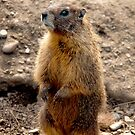 Marmot Standup by Rodney55