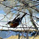 Robin Redbreast by Barb Miller