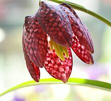 Fritillaria flower by walstraasart