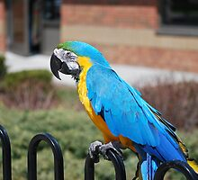 Max the Macaw by deb cole