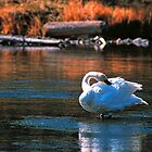 TRUMPETER SWAN,MADISON RIVER by Chuck Wickham