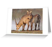 Waterbuck Drinking - Kruger National Park Greeting Card