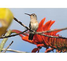 Buffy Hummingbird 1 Photographic Print