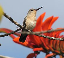 Buffy Hummingbird 2 by hummingbirds
