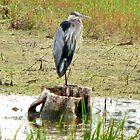 Great Blue Heron - Broken Cup by Barb Miller