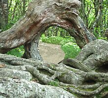 Gnarly Root - Blue Ridge Parkway by glennc70000