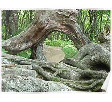 Gnarly Root - Blue Ridge Parkway Poster