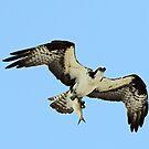 Osprey with todays catch! by jozi1