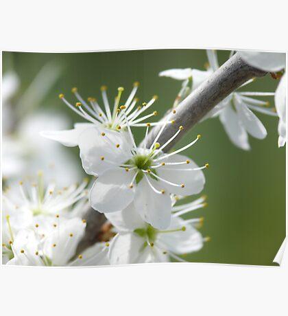 kirschblüte -cherry bloom Poster