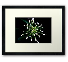 Another agapanthus is born. Framed Print