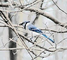 Blue Jay on a Branch by Marcia Rubin