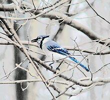 Blue Jay on a Branch by Marcia Rubin