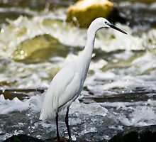 Little Egret - In Breeding Plumage by RatManDude
