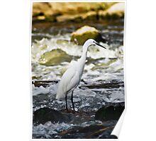 Little Egret - In Breeding Plumage Poster