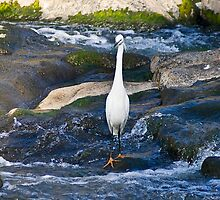 Little Egret - Wading for Dinner by RatManDude