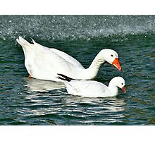 Swan & Baby Swan Photographic Print