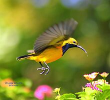 Yellow Bellied Sunbird by robmac