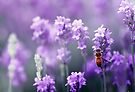 Bee in Lavender by yolanda