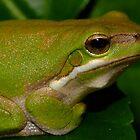 Metalic Frog by Gabrielle  Lees
