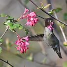 Anna's Hummingbird by Carl Olsen