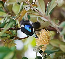 Blue Faced Honeyeater by clearviewstock
