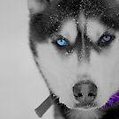 husky by Roslyn Lunetta
