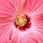 pink hibiscus stamen- Mexico by David Chesluk