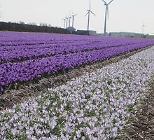 Bulb Fields of North Holland by Patricia127