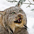 Yeti....Canadian Lynx  by Sue Ratcliffe