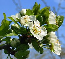 Apple Blossom by ienemien