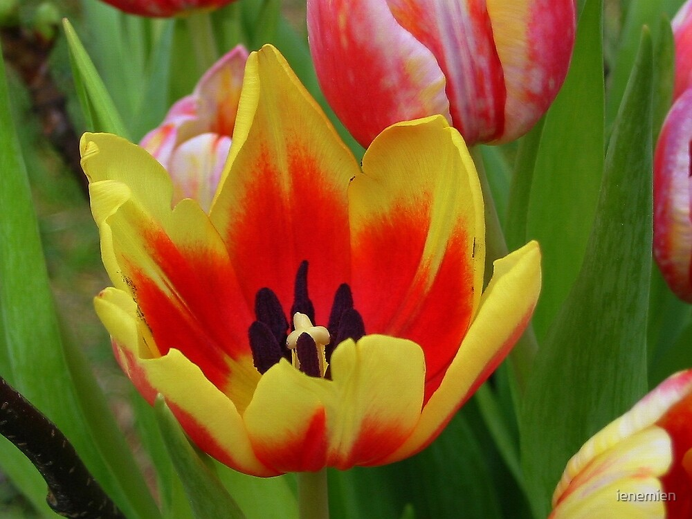 Yellow and Red Tulip by ienemien