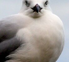 Royal Gull by cazempy