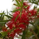 Red Bottlebrush by Margaret Stanton