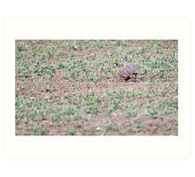 Red-legged Partridges Art Print