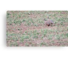 Red-legged Partridges Canvas Print