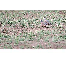 Red-legged Partridges Photographic Print