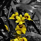 Yellow Iris by John Hare