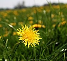 dandelion by andyhickling