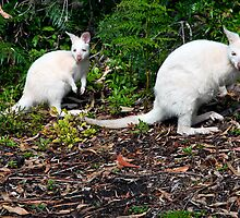 White Wallabies by Kathleen Hill