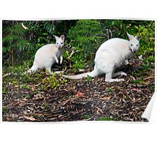 White Wallabies Poster