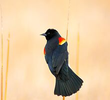 Portrait Of A Red-Winged Blackbird by John  De Bord Photography