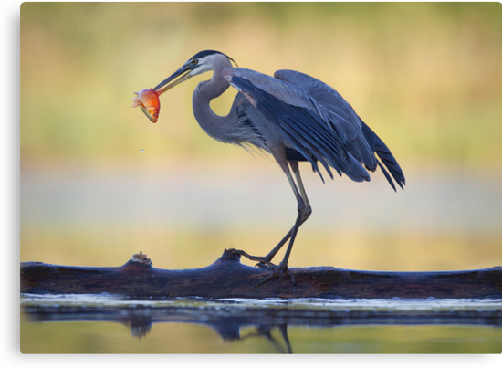 Great Blue Heron & Fish by christopher schlaf