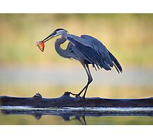 Great Blue Heron & Fish Photographic Print