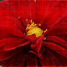 Vintage Red Dahlia by Terrie Taylor